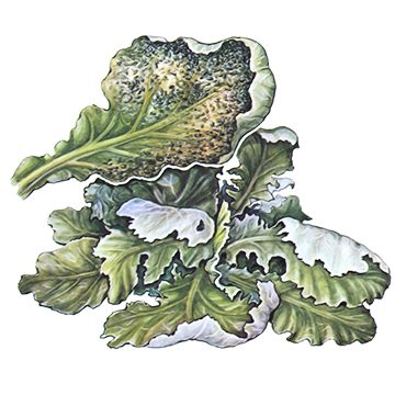 Тля капустная - Поврежденный лист капусты. Использовано изображение: