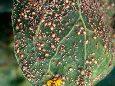 Тля капустная - Поврежденные листья капусты. Использовано изображение:[10]