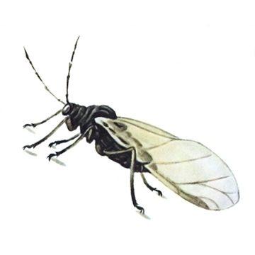 Тля свекловичная - Крылатая самка, латерально. Использовано изображение: