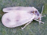 Белокрылка капустная