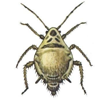 Тля свекловичная корневая - Бескрылая самка. Использовано изображение: