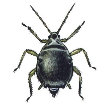 Тля свекловичная корневая - Личинка. Использовано изображение: