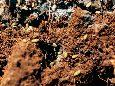 Тля свекловичная корневая - Колония вредителя на корнях лебеды. Использовано изображение:[10]