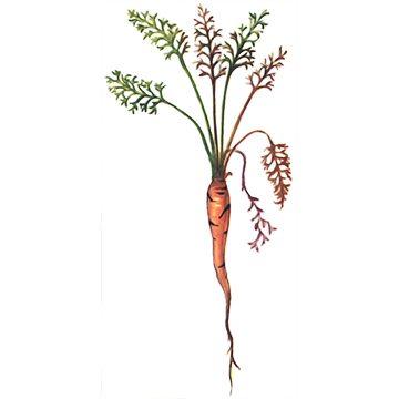 Муха морковная - Морковь поврежденная личинками. Использовано изображение: