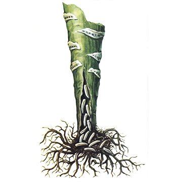 Муха капустная весенняя - Поврежденная капуста. Использовано изображение: