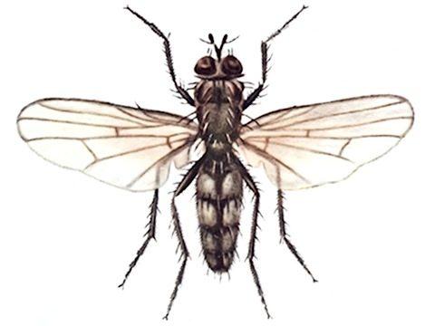 Муха капустная летняя - Имаго, самец. Использовано изображение: