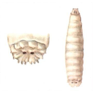 Муха капустная летняя - Личинка. Использовано изображение: