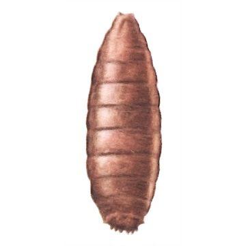 Муха капустная летняя - Куколка. Использовано изображение: