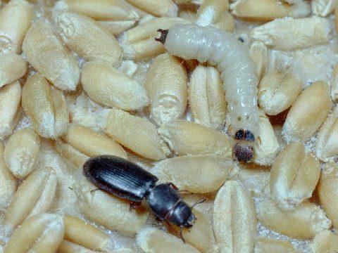 Козявка мавританская - Имаго и личинка на зернах пшеницы. Использовано изображение:[12]