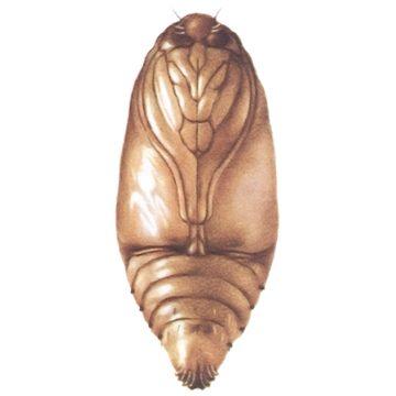 Плодожорка гороховая - Куколка. Использовано изображение: