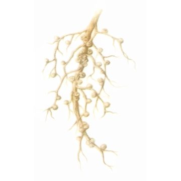 Долгоносик клубеньковый щетинистый - Поврежденные клубеньки на корнях. Использовано изображение: