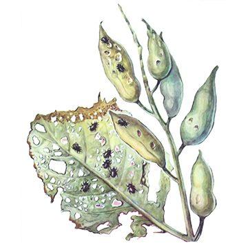 Блошка светлоногая - Повреждение листьев и стручков редиса. Использовано изображение:[10]