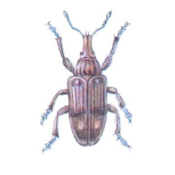 Долгоносики - Долгоносик свекловичный обыкновенный