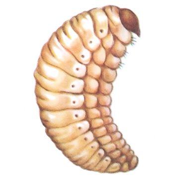 Долгоносик свекловичный обыкновенный - Личинка. Использовано изображение:[10]
