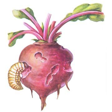 Долгоносик свекловичный обыкновенный - Поврежденный корнеплод свеклы. Использовано изображение:[10]