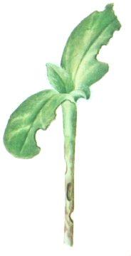Долгоносик свекловичный черный - Повреждения ростков подсолнечника. Использовано изображение: