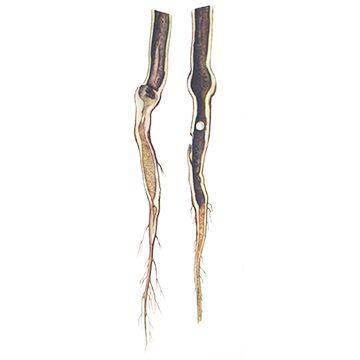 Барид зеленый брюквенный - Повреждения корней. Использовано изображение: