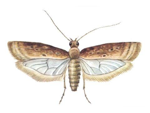 Моли выемчатокрылые - Моль свекловичная минирующая
