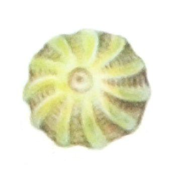 Моль свекловичная минирующая - Яйцо. Использовано изображение:[10]
