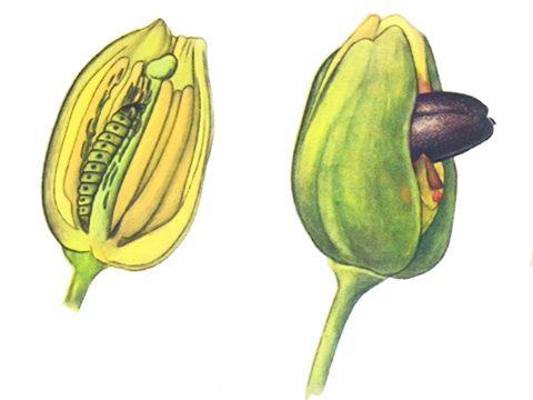 Цветоед рапсовый - Имаго и личинка в бутоне. Использовано изображение:
