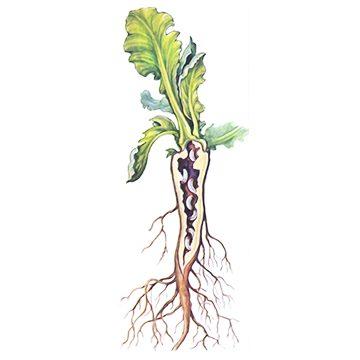 Скрытнохоботник капустный cтеблевой - Повреждение капусты личинками. Использовано изображение: