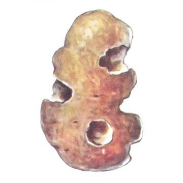 Совка озимая - Поврежденный картофель. Использовано изображение:[10]