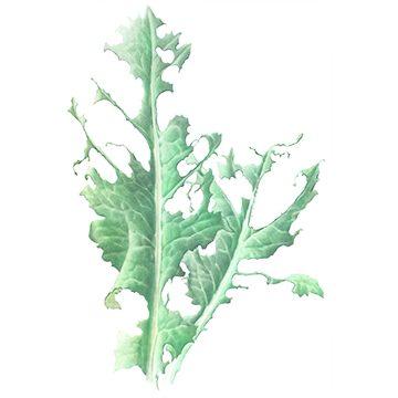 Совка капустная - Повреждение капусты. Использовано изображение:[12]