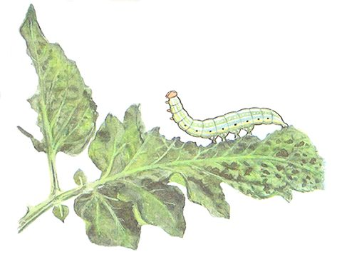Совка огородная - Молодая гусеница и повреждения. Использовано изображение: