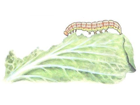 Совка огородная - Взрослая гусеница и повреждения. Использовано изображение:
