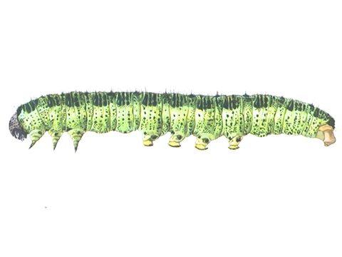 Белянка капустная - Личинка. Использовано изображение: