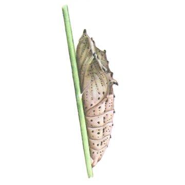 Белянка капустная - Куколка. Использовано изображение: