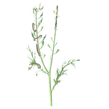Белянка капустная - Яйцо и личинки на растении. Использовано изображение: