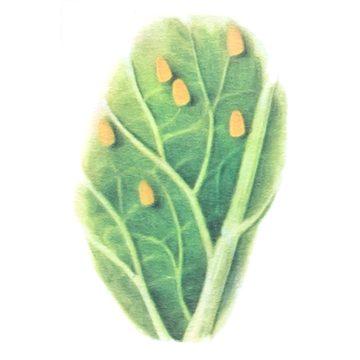 Белянка репная - Яйца на листе. Использовано изображение: