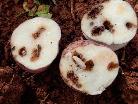 Долгоносики картофельные андийские - Повреждение клубней личинками. Использовано изображение:[10]