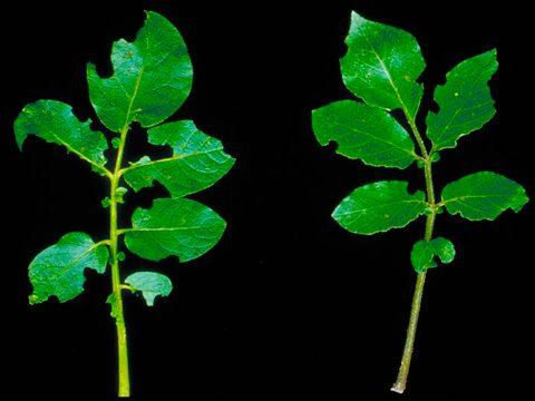 Долгоносики картофельные андийские - Повреждение листьев имаго. Использовано изображение: