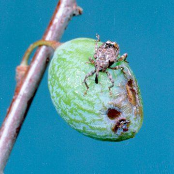 Долгоносик плодовый - Повреждение плодов сливы. Использовано изображение: