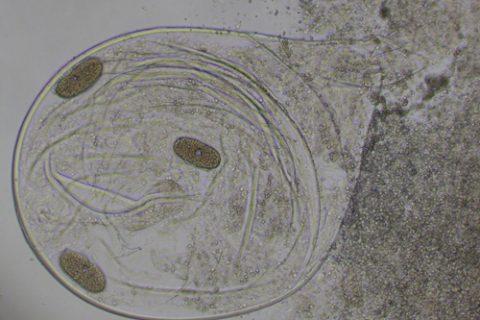 Нематоды галловые (галлообразующие)