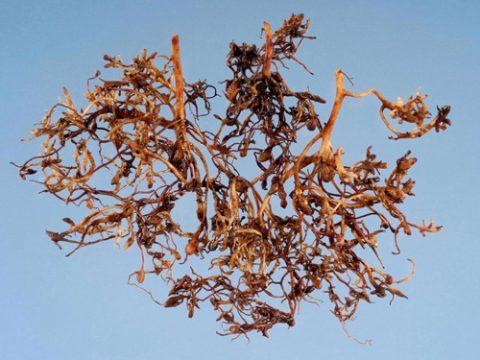 Нематода галловая северная - Поражение корней земляники. Использовано изображение: