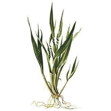 Нематода пшеничная - Повреждение всходов. Использовано изображение: