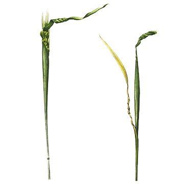 Нематода пшеничная - Повреждение колоса. Использовано изображение: