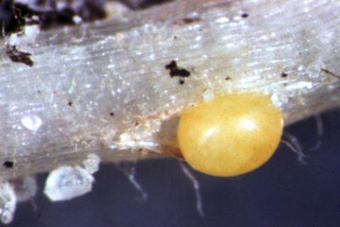 Нематода картофельная золотистая - Циста. Использовано изображение: