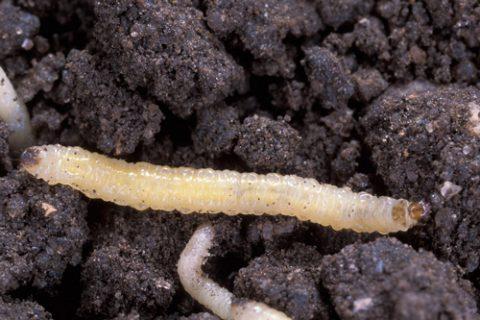 Жук кукурузный диабротика - Личинка. Использовано изображение: