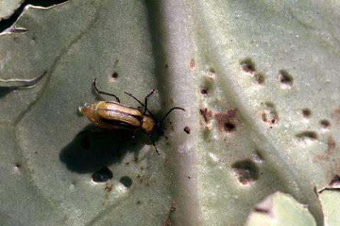 Жук кукурузный диабротика - Поврежденный лист капусты. Использовано изображение: