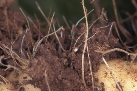 Нематоды разнокожие - Нематода свекловичная цистообразующая