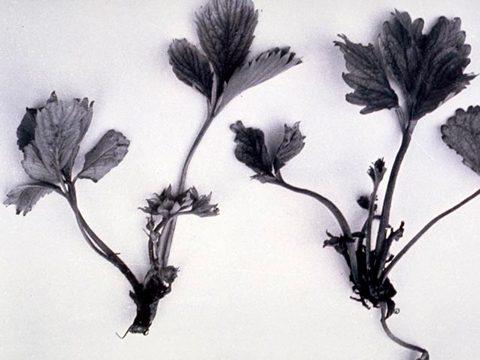 Афеленх рисовый - Симптомы поражения земляники садовой. Использовано изображение: