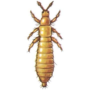 Трипс табачный - Личинка. Использовано изображение:[11]