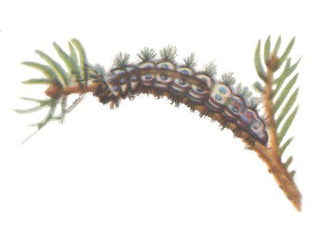 Монашенка - Личинка. Использовано изображение: