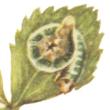 Пилильщик розанный - Личинка. Использовано изображение: