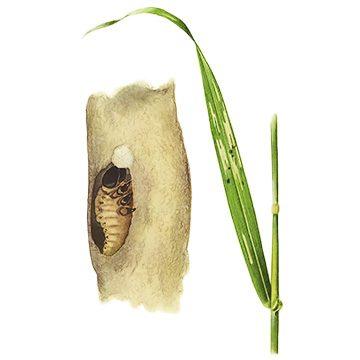 Пьявица синяя - Повреждение и личинка. Использовано изображение: