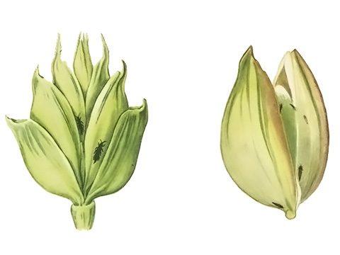 Трипс пшеничный - Имаго (справа) и личинка (слева) на зерновке. Использовано изображение: